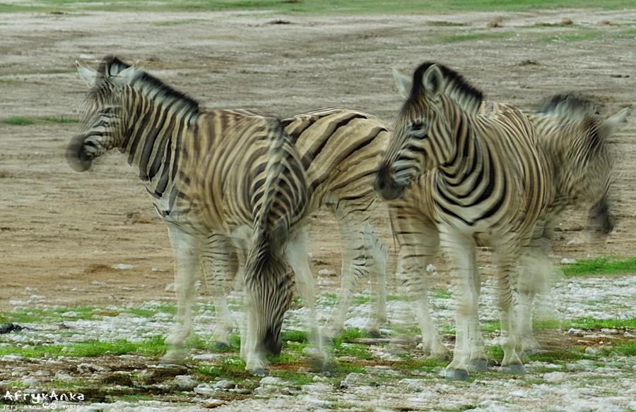 Być może tak owady widzą zebry?