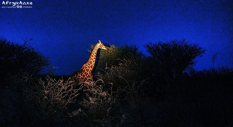 Żyrafa przed świtem.