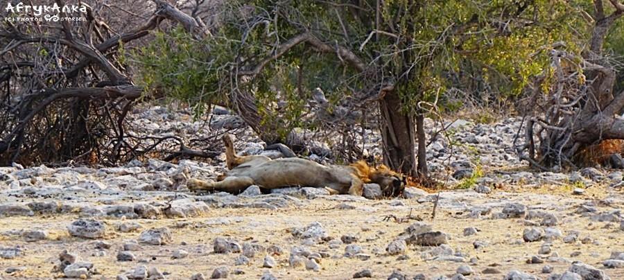 Śpiący lew wygląda tak.