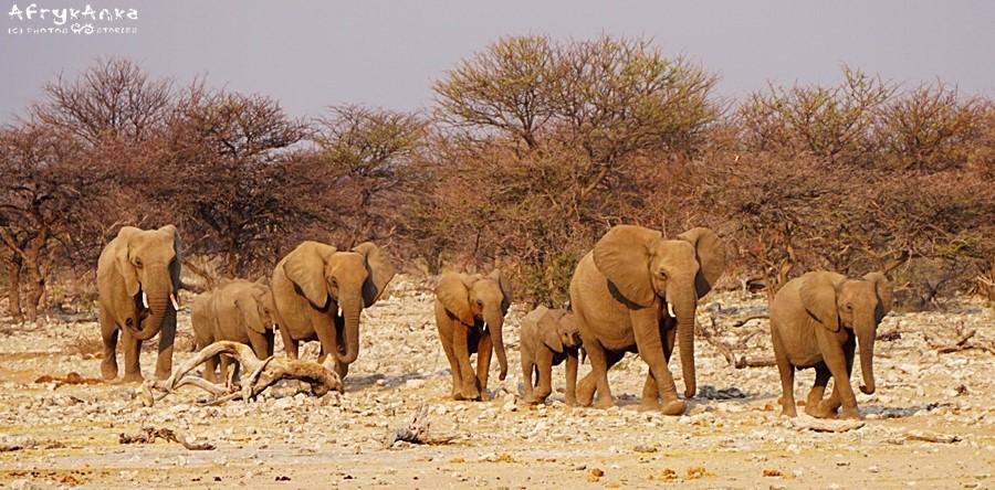 Słonie wędrują do wodopoju.