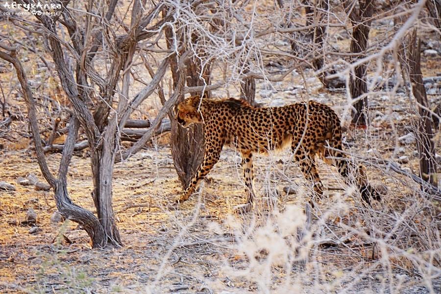 Busz to nie jest ulubiony teren geparda.