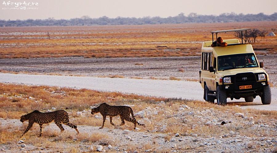 Gepardy przemknęły tuż przed autem.