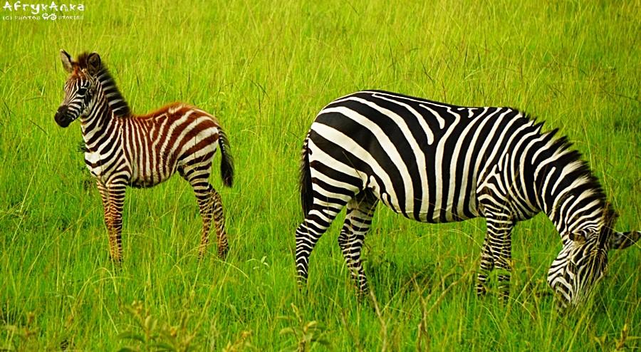 Zebry stepowe w PN Mburo (Uganda). Młode ma brązowe paski, mama piękne czarne.