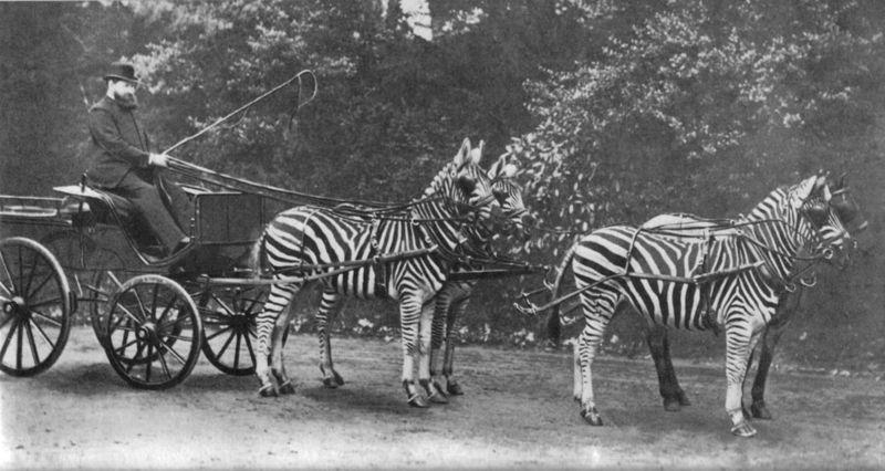 Pasiasty zaprzęg - na przedzie w tle widoczny koń (wikipedia)