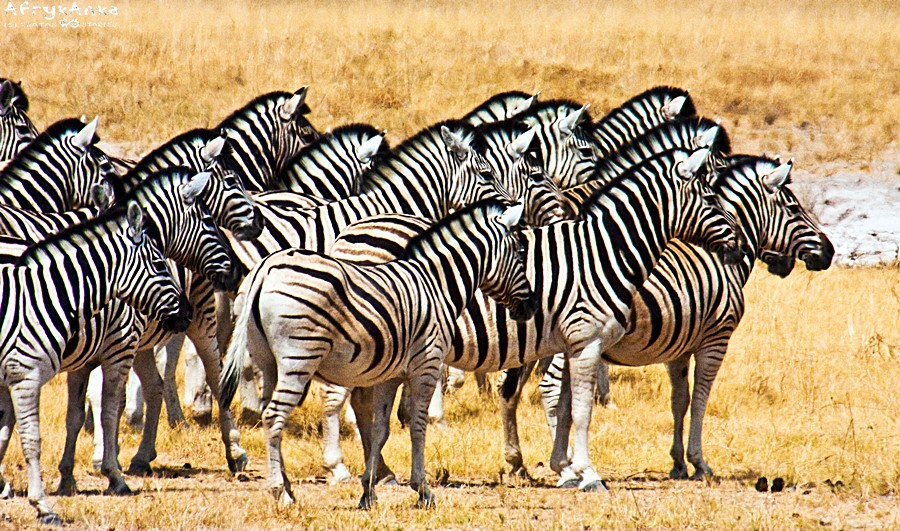 Ostatnie pożegnanie: zebry patrzą na ich towarzyszkę dobijaną przez lwicę.