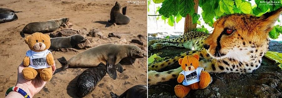 Bliskie spotkania: uchatki i gepard.