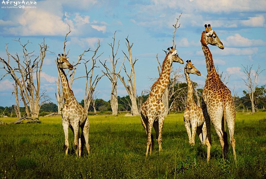 Stado w PN Moremi (Botswana).
