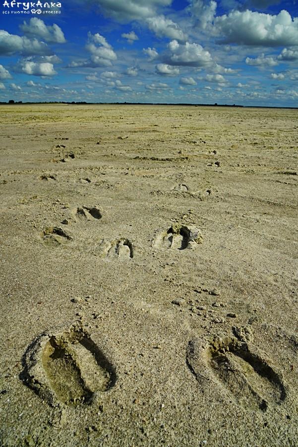 Ślady żyrafy na Nxai Pan (Botswana)