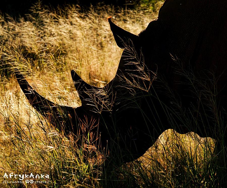 Nosorożce odchodzą na naszych oczach.