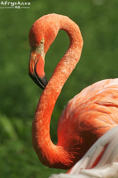Flaming karmazynowy - zoo w Chorzowie.