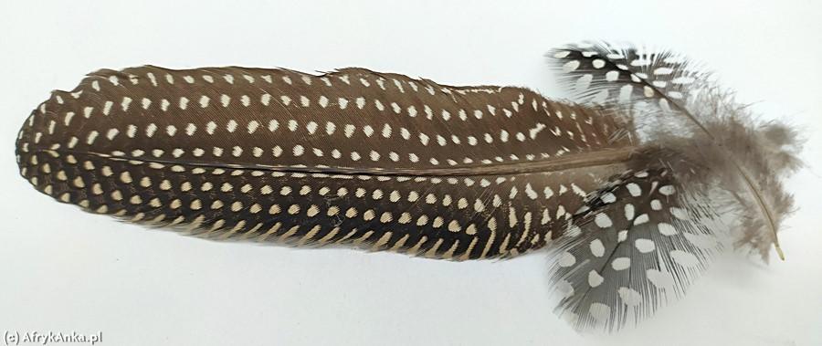 Pióra znalezione w Swakopmund (Namibia).