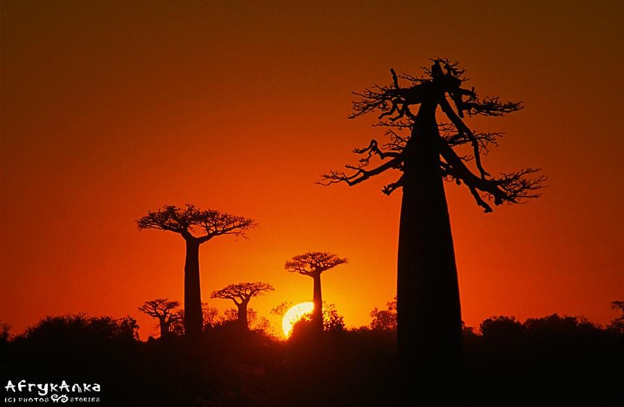 Baobaby - jedne z najbardziej niesamowitych drzew.
