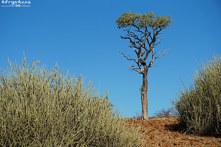 Drzewo w Namibii objedzone przez żyrafy.