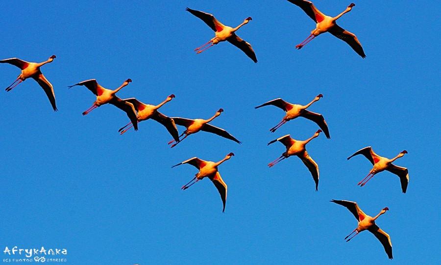 Ptaki lecą zawsze w grupie.