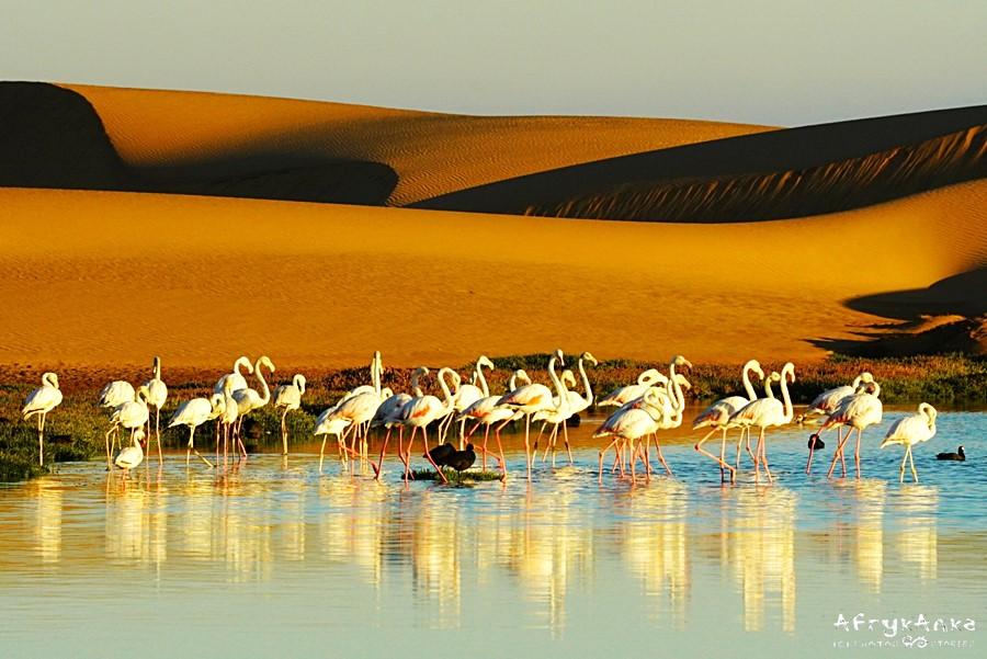 Flamingi na tle wydm pustyni Namib - okolice Walvis Bay.