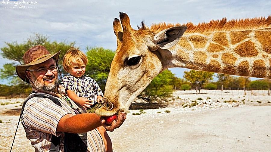 Oswojoną żyrafę można poczęstować... jabłkiem.