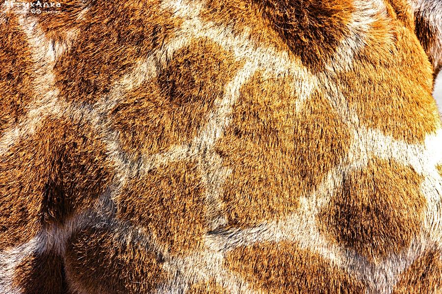 Deseń żyrafy angolskiej.