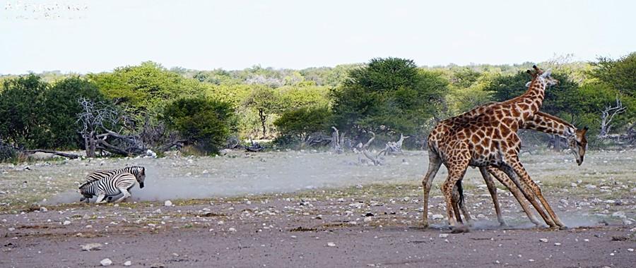 Love is in the air: walczą zebry i żyrafy!