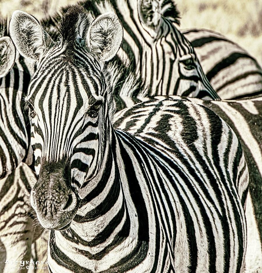 Zebra - koń w paski!