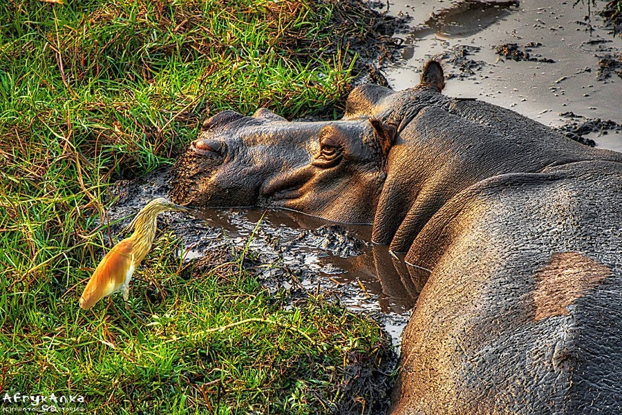 Czapla modronosa i hipopotam. PN Chobe (Botswana)