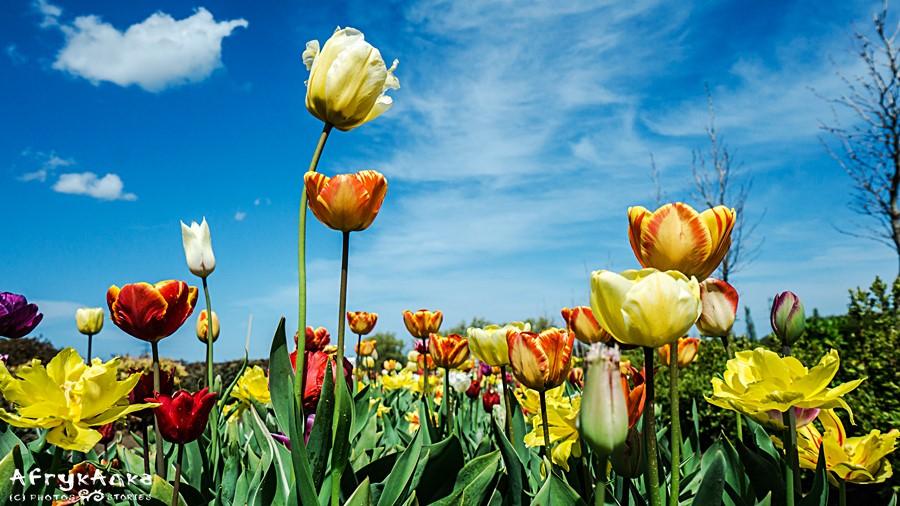 Wiosna to czas tulipanowego szaleństwa.