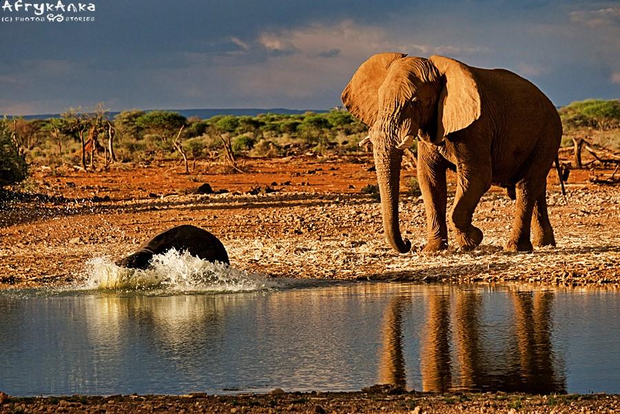 Duży może więcej! Hipopotam umyka przed słoniem!