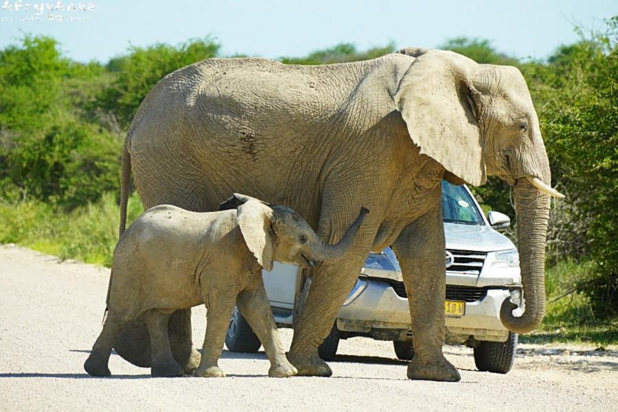 Na drodze słonie mają pierwszeństwo!