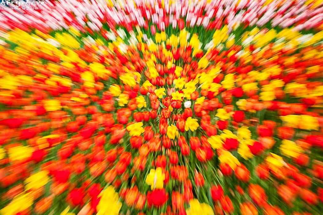 Ludzie dosłownie oszaleli na punkcie odmian tulipanów...