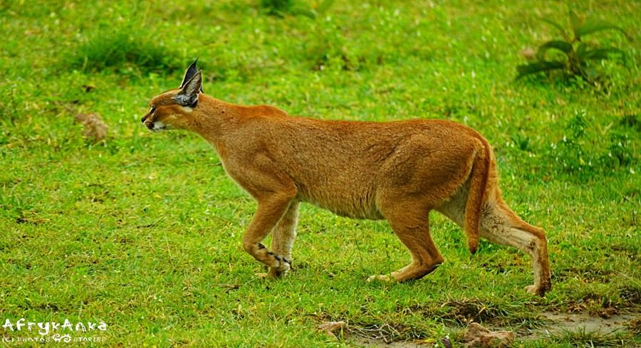 Karakal na polowaniu.
