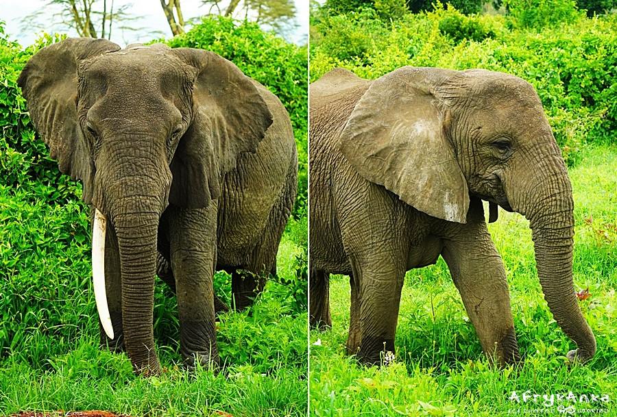 Czasem cios się łamie, czasem słonie rodzą się bez ciosów...