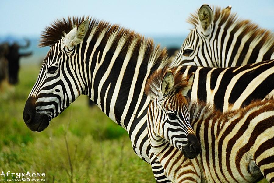 """Punda"" - osioł, ""punda milia"" - zebra"""