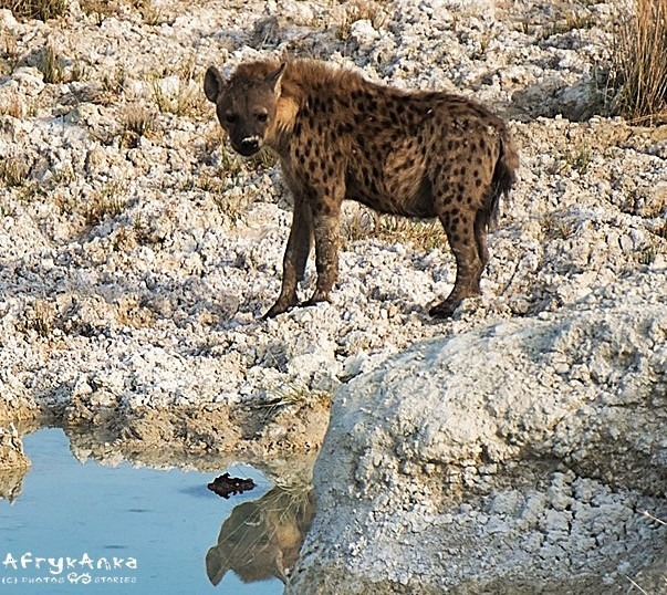 Brzydka piątka - hienę mało kto lubi.