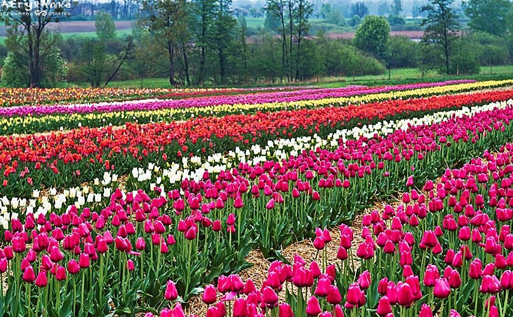 Tulipany w Chrzypsku Wielkim (czyli nasza polska mała Holandia!)
