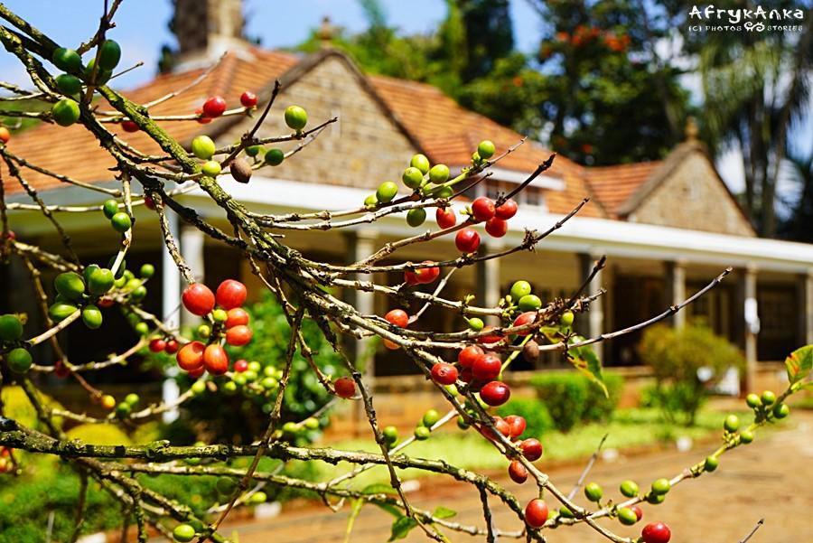 Drzewko kawowca na tle domu.