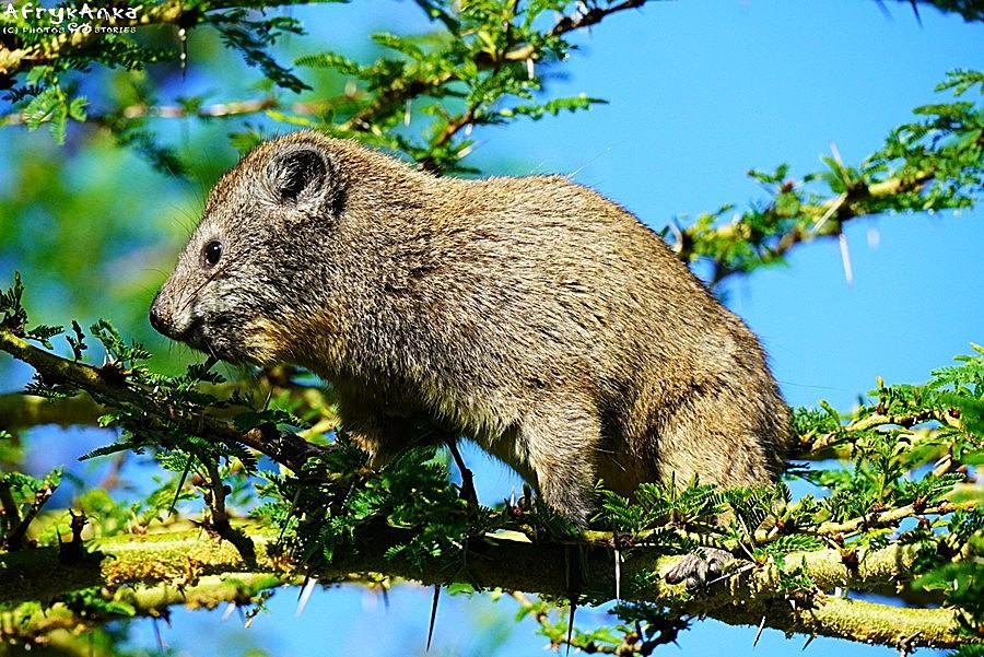 Góralek drzewny w całej okazałości (Kenia).