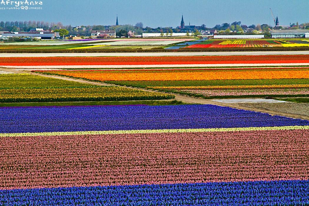 Pola tulipanów w Holandii.