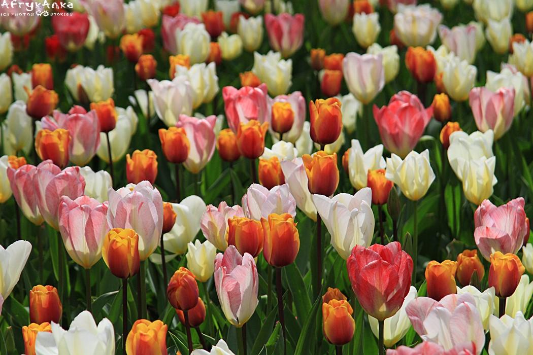 Historia tulipanów to materiał na film sensacyjny!