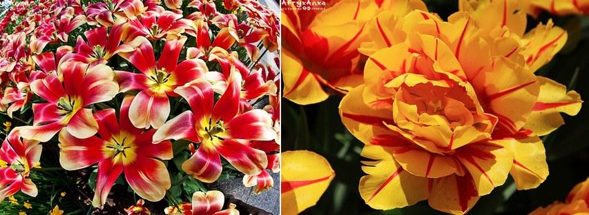Tulipany zachwycają różnorodnością form.