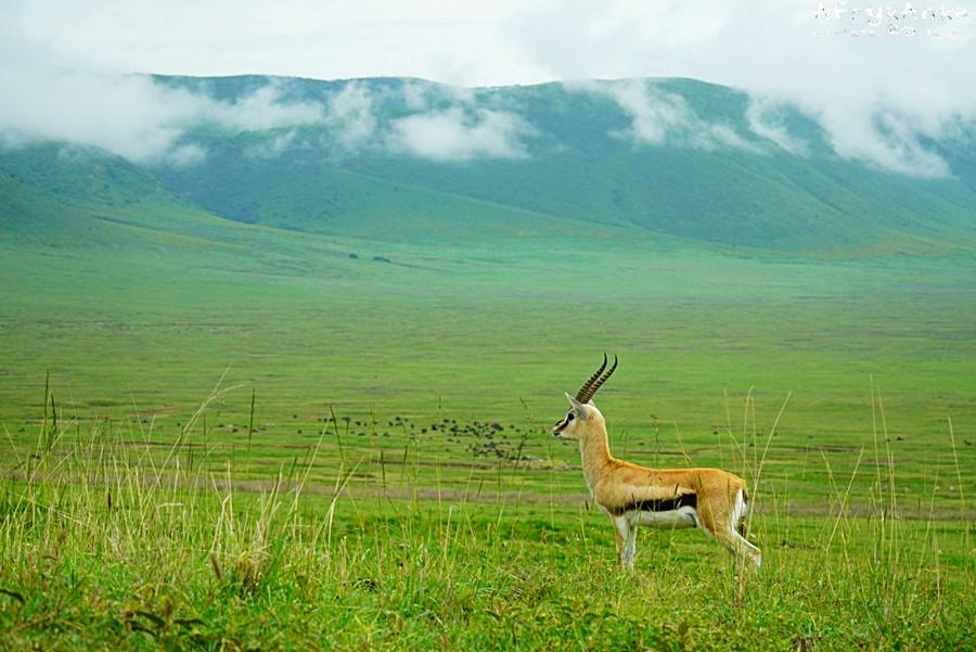 Gazelopka sawannowa (Thomson's gazelle) na tle zboczy krateru.