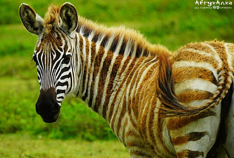 Zebra o nietypowych paskach.