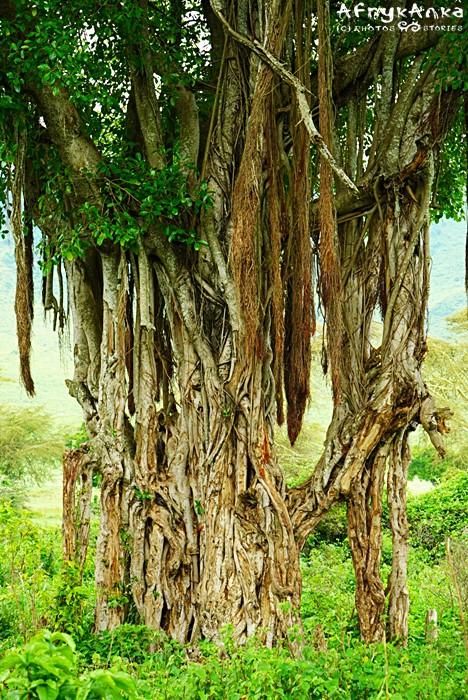 Ogromny figowiec - gdy pnącza dosięgną ziemi staną się kolejnymi pniami drzewa.