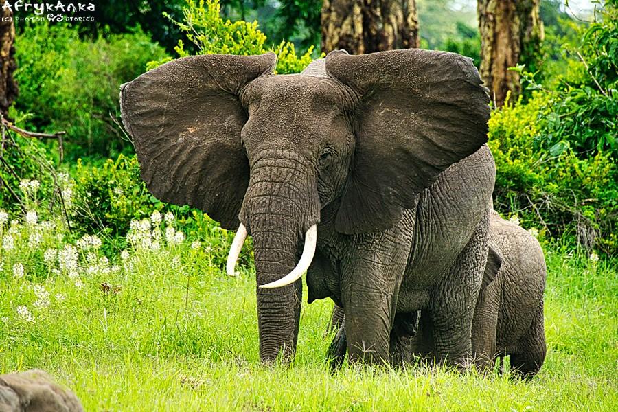 Słonica chłodzi się, wachlując ogromnymi uszami.