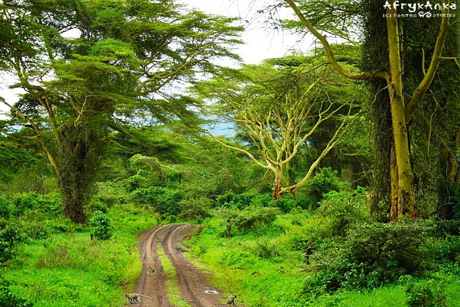 Leśna droga - po prawej stronie drzewo gorączki.