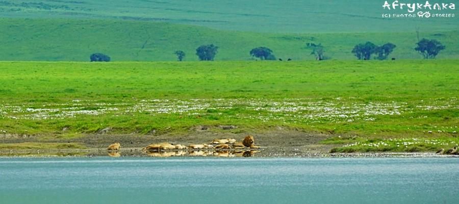 Lwy śpią nad jeziorem - nie przeszkadzać!