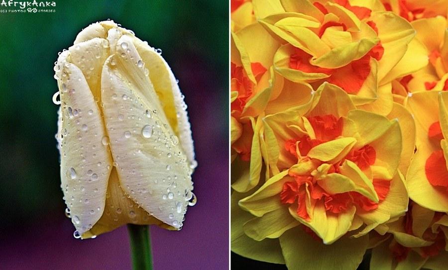 """Po lewej tulipan """"Maria Kaczyńska"""", po prawej szaleństwo fantazji."""
