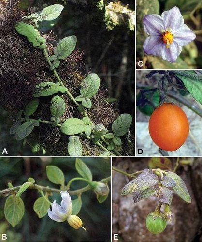 Solanum baretiae (źródło: Wikipedia).