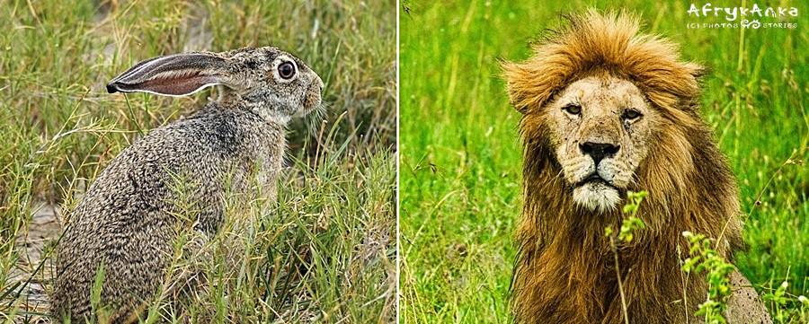 Lew i królik - ciekawe czy by się im spodobali kuzyni z sawanny?