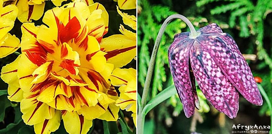Tulipany są niebywale różnorodne!