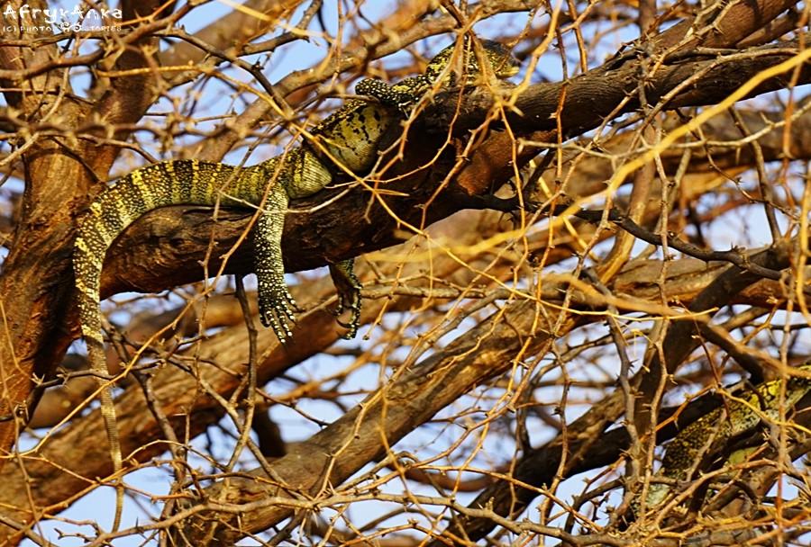 Waran nilowy odpoczywa na drzewie.