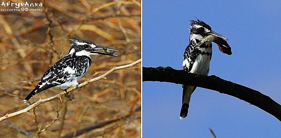 Zimorodki srokate: po lewej samica (chyba). Po prawej samiec (na pewno).